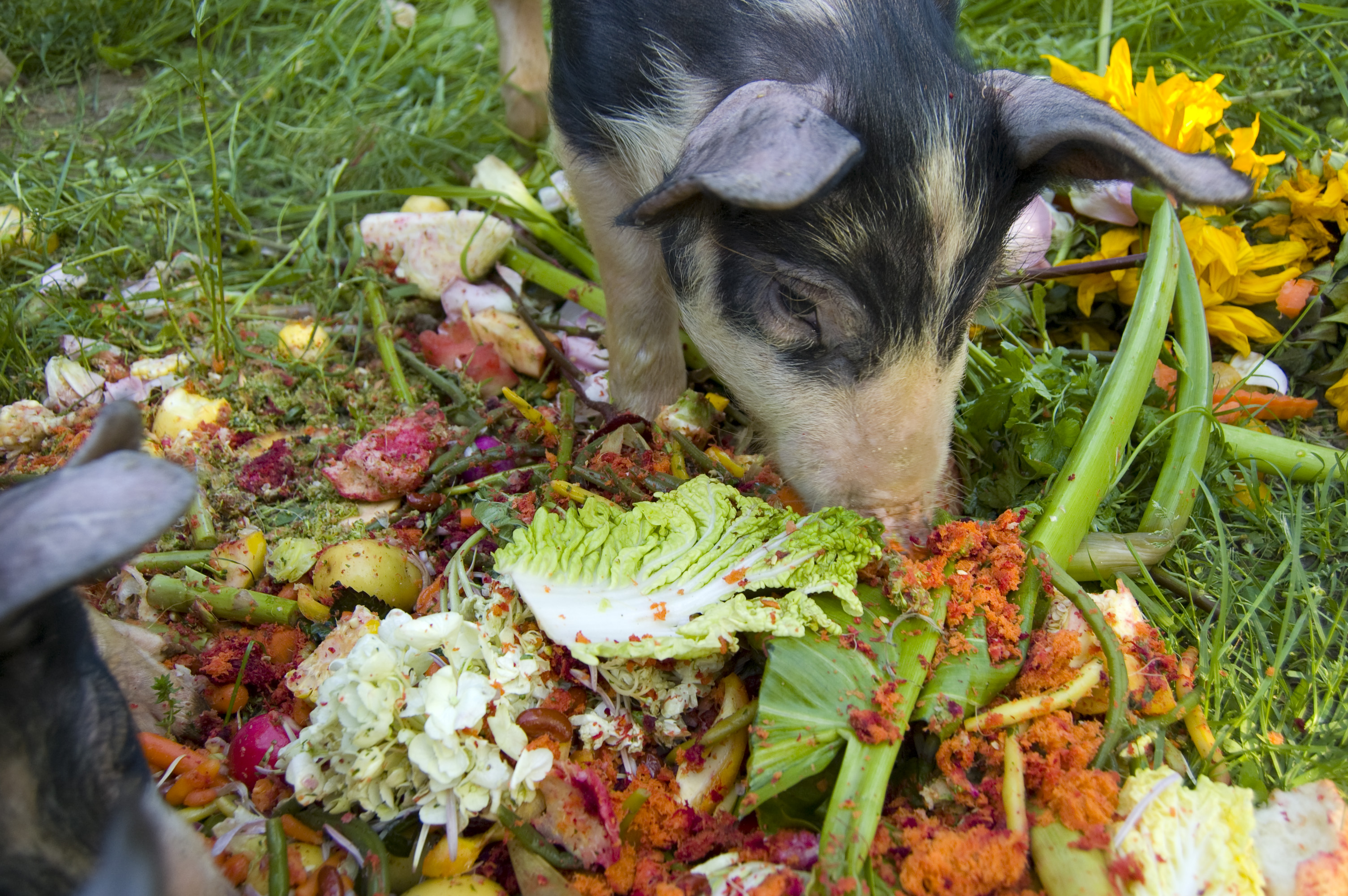 Best Organic Food For Pigs